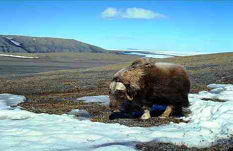 Животный и растительный мир тундры Аляска. Доклад по биологии и географии 7 класс