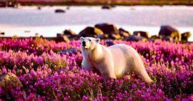 Животный и растительный мир тундры Белый Медведь. Доклад по биологии и географии 7 класс