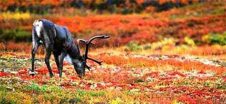 Животный и растительный мир тундры Северный Олень. Доклад по биологии и географии 7 класс