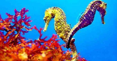 Морской конек. Доклад по биологии